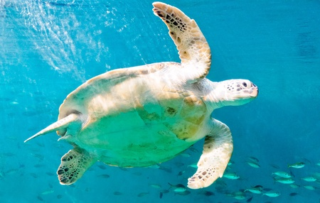 Happy sea turtles in the aquarium of Rayong province,Thailand Stock Photo - 8363821