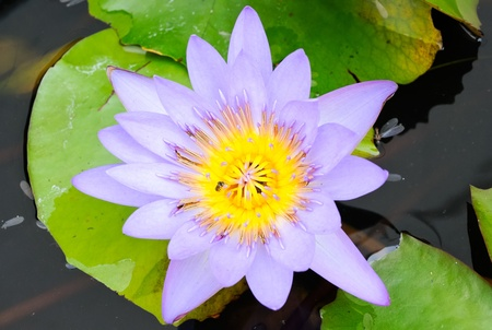 Purple lotus is blossom on central pool of the temple. Stock Photo - 8821962