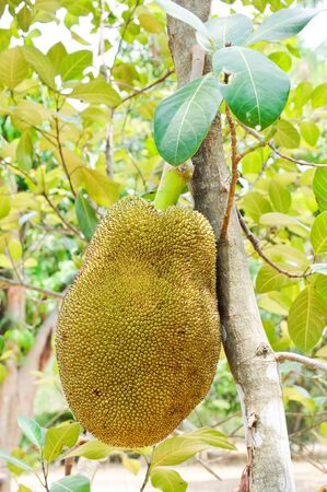 Big jackfruit by using a naturally grown within the farm photo