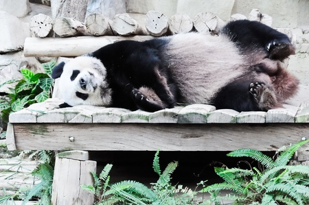 Giant panda is sleeping on the wooden bed in  Thai zoo. photo