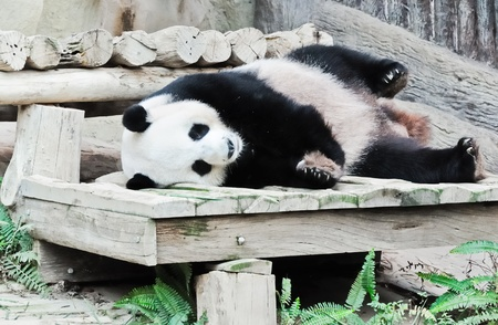 Young giant panda is sleeping on the wooden bed in  Thai zoo. photo