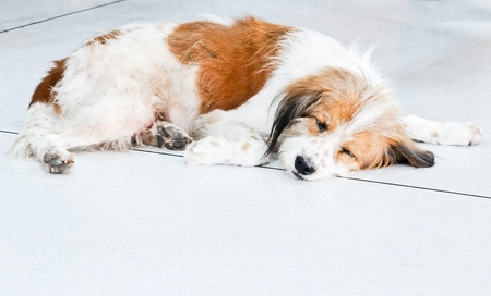 Sick dog is lying on the floor of the veterinary clinic. photo