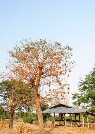 Dry tree on the paddy field in front of the old hut. photo