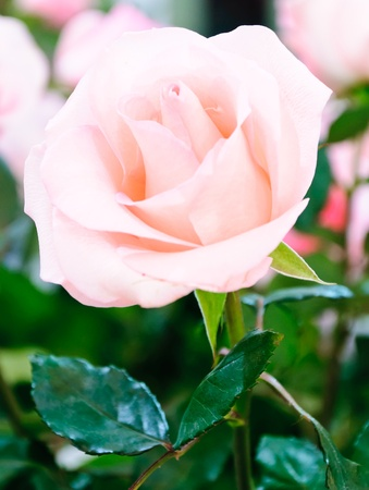 Pink rose in the green house of farmland. Stock Photo - 12064923