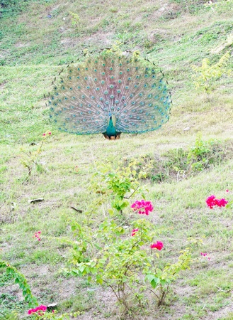 Green peacock on the hill of bird dome in the zoo. photo
