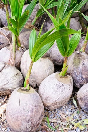 coconut seedlings: Coconut seeding in the farmland for selling. Stock Photo