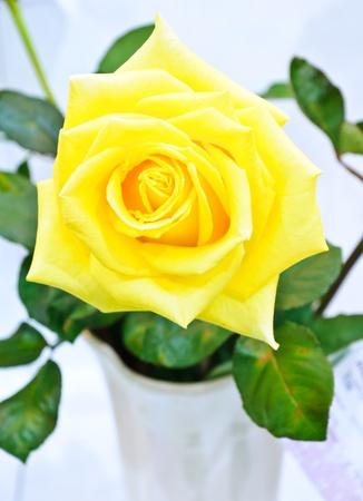 rosas amarillas: Rosa amarilla en la casa verde de la sala de exposiciones