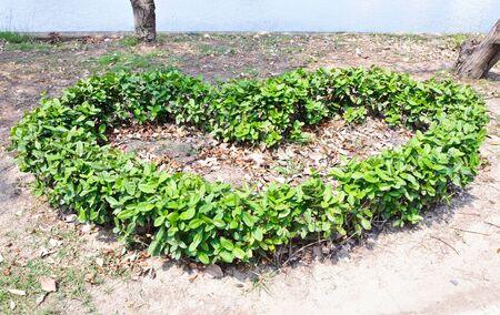 Heart shape bush in the urban park  photo