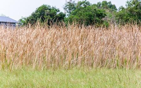 Dry grass field behind the urban village  photo