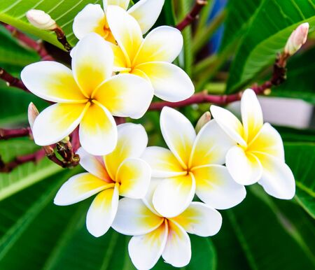 White frangipani flowers on the little tree in garden  photo