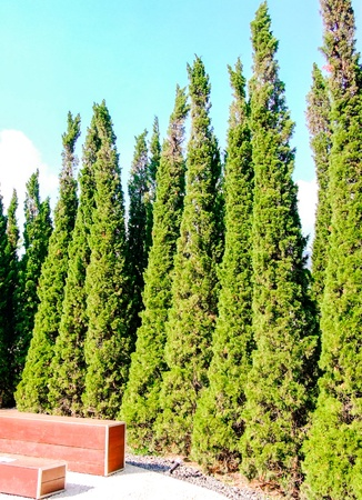 Pine wall of the spanish style garden of international Park  photo