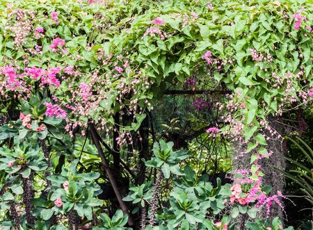 Pink flower of creeper on the metal frame of home garden. photo