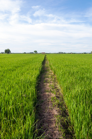 Natural way in the paddy field of Thailand photo