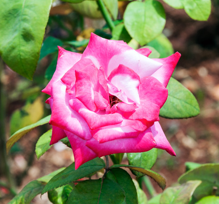 Pink rose is blooming in the botanical garden. photo