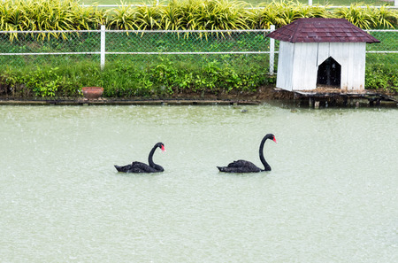 house float on water: Black swan is floating on the small lake with rain. Stock Photo