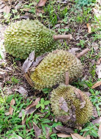 Ripe durian on the ground of organic farm. photo