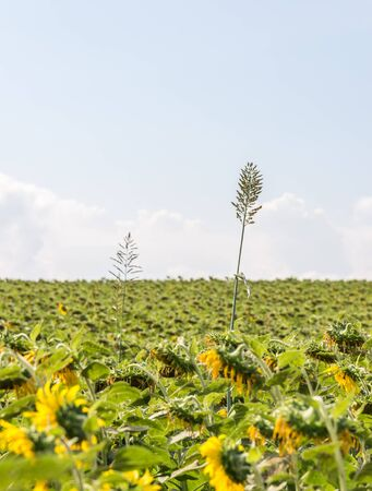 wilted: Alone high plant in the wilted sunflowers field.