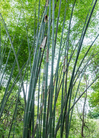 conserved: Fresh bamboo tree in the conserved forest of Thailand. Stock Photo