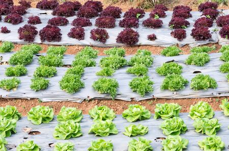 plot: Fresh lettuce plot in the organic farm of Thailand.