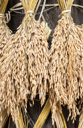 Dry spike rice is hanging around the wooden pillar of the farmer house.