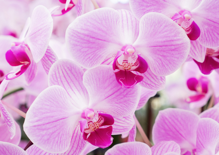 Blooming of the fresh phalaenopsis orchid in the botanical garden.