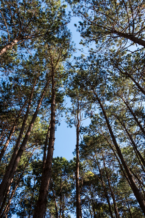 High angle view of the pine forest in the national park with the clear bule sky.