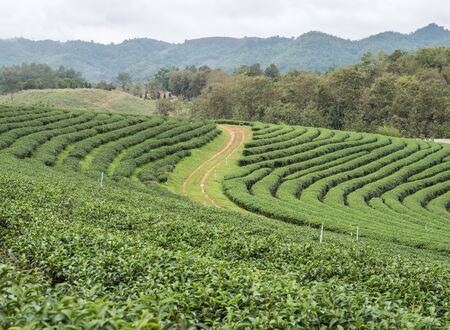 Organic tea plantation on the hill which located in the valley of the high mountain range. 写真素材