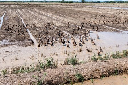 A large group of ducks are walking through the rice fields after the harvest time in the local farm,Thailand.