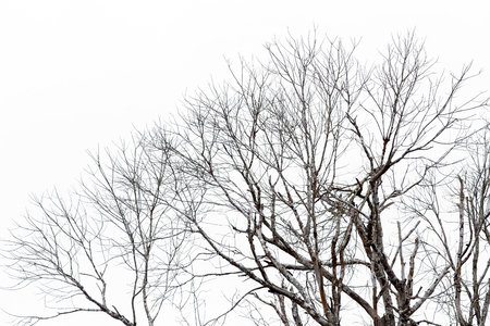 leafless: Silhouette of leafless branches isolated on white