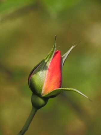 Another rose bud