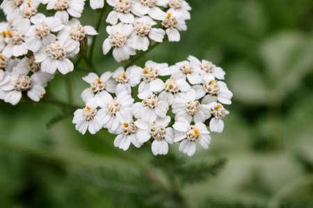 森の近くに白いノコギリソウ