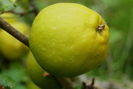 membrillo: membrillo amarillo  verde Foto de archivo