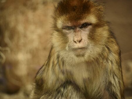 barbary: Barbary macaque behind the glass Stock Photo