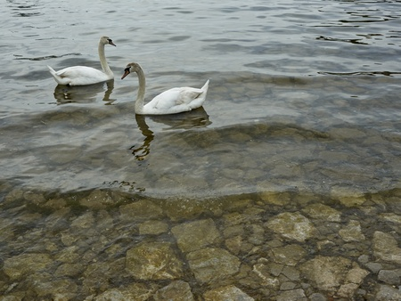 Swans in lake Ohrid    photo