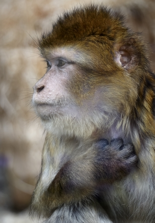 glower: Barbary macaque behind the glass Stock Photo