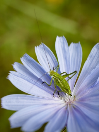 bue: Green grasshopper on the bue wild flower