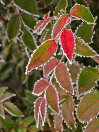 Rime covered leafs in park photo