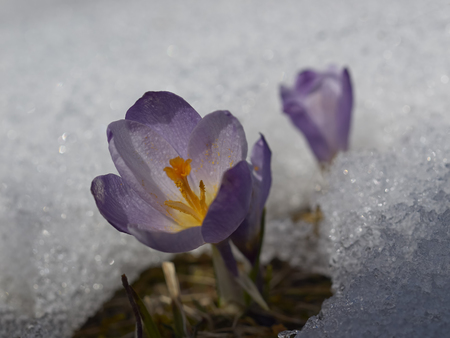 Crocus flower macro in snow photo