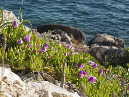 pigface flower in bloom on island Dugi otok, Sali, Croatia photo