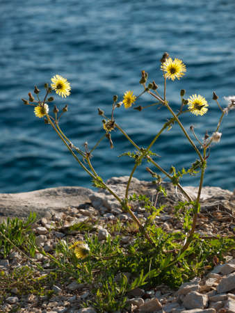 hawkweed: yellow wild flower on the coast