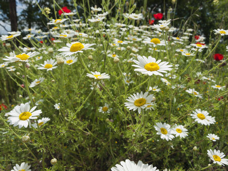 pedicel: meadow with marguerite and poppies