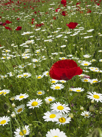 marguerites: meadow of marguerites and poppies near village