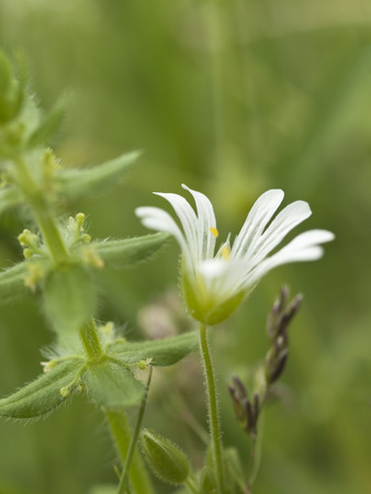 chickweed: Withe chickweed flower in wild nature, close up