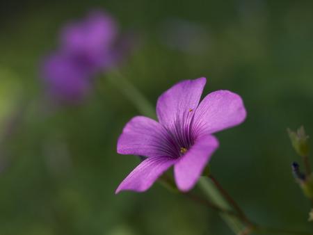 oxalis: Shamrock flowers (Oxalis violacea) Stock Photo