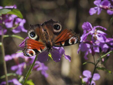 Peacock butterfly on wild radish flower in wood Stock Photo