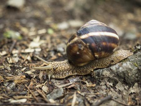 Hermaphrodite: Land Snail goes forest trail Stock Photo