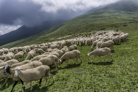 rock wool: a flock of sheep grazing the grass in the mountains