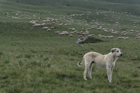 guarding: livestock guardian dog guarding a large flock of sheep in mountains