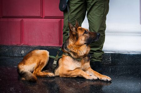 A police dog of German shepherd breed, trained to look for explosive substances, wearing a bulletproof vest with stripes