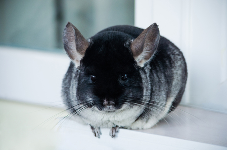 Beautiful furry black and gray chinchilla adult with fluffy tail Stock Photo